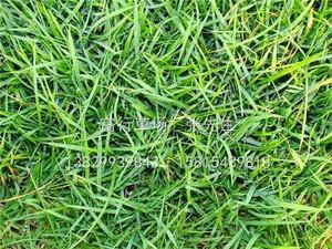 惠州馬尼拉草皮