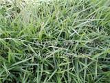 蘭引三號草