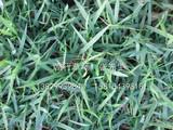 蘭引三號草皮