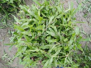 梅州大葉油草供應