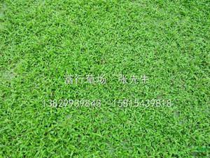大葉油草種植
